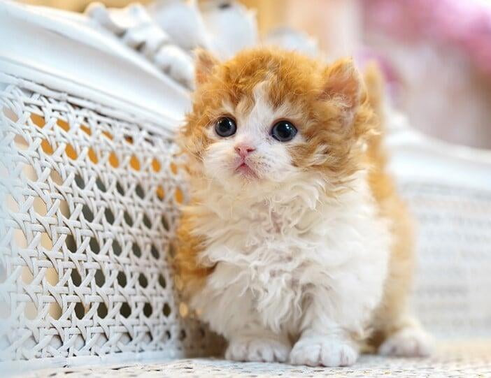 Orange and white munchkin kitten for sale