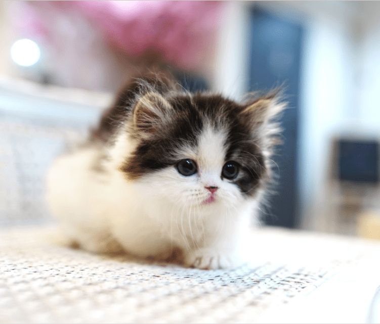 Calico munchkin kitten for sale